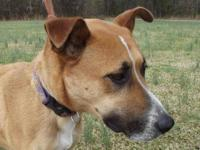 Carolina Dog - Avail - Large - Adult - Female - Dog