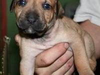 Carolina Dog - Honeybree - Medium - Baby - Female -