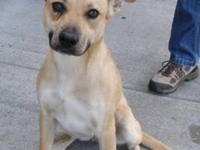 Carolina Dog - Kip - Medium - Adult - Male - Dog All of