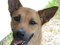 Carolina Dog - Pam - Medium - Adult - Female - Dog Pam