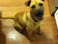Carolina Dog - Roth - Large - Adult - Male - Dog