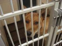 Carolina Dog - Shiloh - Medium - Young - Male - Dog