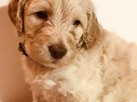 Carrie is a F1b goldendoodle puppy. Mother is a F1