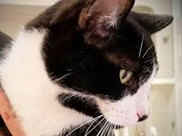 CARTER's story  CARTER Domestic Shorthair Black and