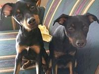 Carter's story This is Carter (on the left)a min pin