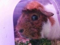 We have a pair of male guinea pigs looking for their