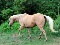 """Casey"" is a super nice, 20  year old, QH, gelding He"