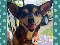 My story Cash is a 6-7 year old 10 pound chi. Utd on