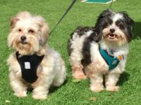Cash and Luca are 8 year old  havanese brothers that