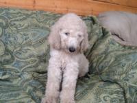 Cashmere Creamy White Female Standard Poodle Puppy -