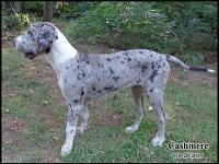Cashmere is a beautiful Merle Mantle Female. Her