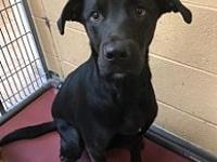 Cason 11434's story Cason is an approx. 2 yr old lab