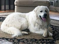 Well, hello! I am Casper, the friendly Pyr! I am 2