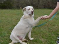 Casper is a handsome 2 1/2 year old Labrador Retriever