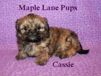 Cassie is an adorable little female Shih Tzu puppy! She