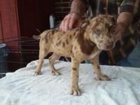 I have 3 8 weeks old catahoula- bulldog cross puppies
