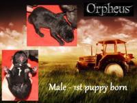I have 8 Catahoula Bulldog cross puppies that will