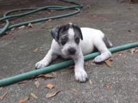 Catahoula Bulldog Puppies 2nd generation ABRA