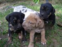 We have 3 catahoula bulldog puppies available. The pups