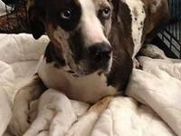 Pumpkin is a 2 year old spayed, Catahoula leopard dog.