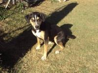 Catahoula Leopard Dog - A099165 - Large - Young - Male