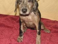 Catahoula Leopard Dog - Albie - Small - Baby - Male -