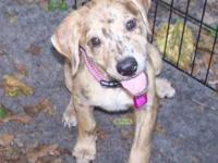 Catahoula Leopard Dog - Amber - Medium - Baby - Female
