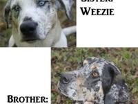 Catahoula Leopard Dog Weezie & Pepper are 4-year-old
