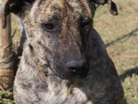 Catahoula Leopard Dog Pumba is a black mouth cur or