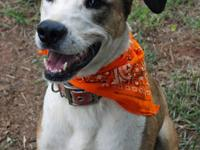 Catahoula Leopard Dog - Archie- Adoption Pending! -