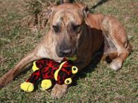 Catahoula Leopard Dog - B.j. (catahoula Cur Mix) -
