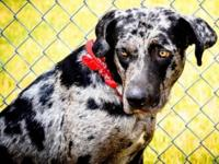 Catahoula Leopard Dog - Bogi - Large - Adult - Male -