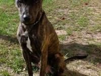 Catahoula Leopard Dog - Buddy - Large - Young - Male -