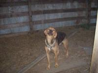 Catahoula Leopard Dog - Charlie - Large - Young - Male