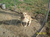 Catahoula Leopard Dog - Chupa - Large - Young - Female