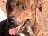 Catahoula Leopard Dog - Clyde - Medium - Adult - Male -