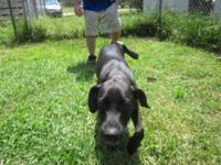 Catahoula Leopard Dog - Dustin - Small - Young - Male -