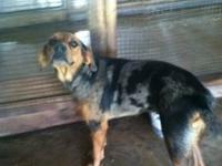 Catahoula Leopard Dog - Eliza - Medium - Adult - Female