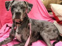 Catahoula Leopard Dog - Ellie - Small - Young - Female
