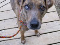 Catahoula Leopard Dog - Ginger - Medium - Young -