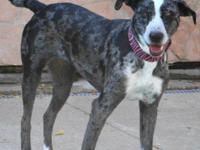 Catahoula Leopard Dog - Gypsee - Large - Young - Female