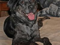 Catahoula Leopard Dog - Hank - Large - Young - Male -