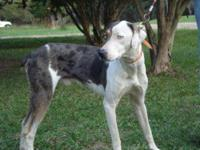 Catahoula Leopard Dog - Lefty - Medium - Young - Male -