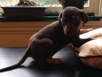 8 week old Catahoula pups prepared to go 01/14/15. One