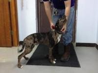 Catahoula Leopard Dog - Spartan - Large - Young - Male