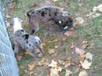 I have two gorgeous Catahoula leopard dog puppies