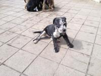 I have 3 females and 4 males Catahoulas puppies for