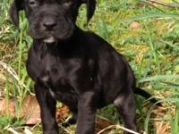 9 week old female Catahoula Leopard Dog puppy, ready to