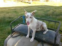3/4 Catahoula 1/8 McNab 1/8 Border Collie. Working and