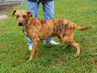 Catahoula Leopard Dog - Holly Belle - Large - Young -